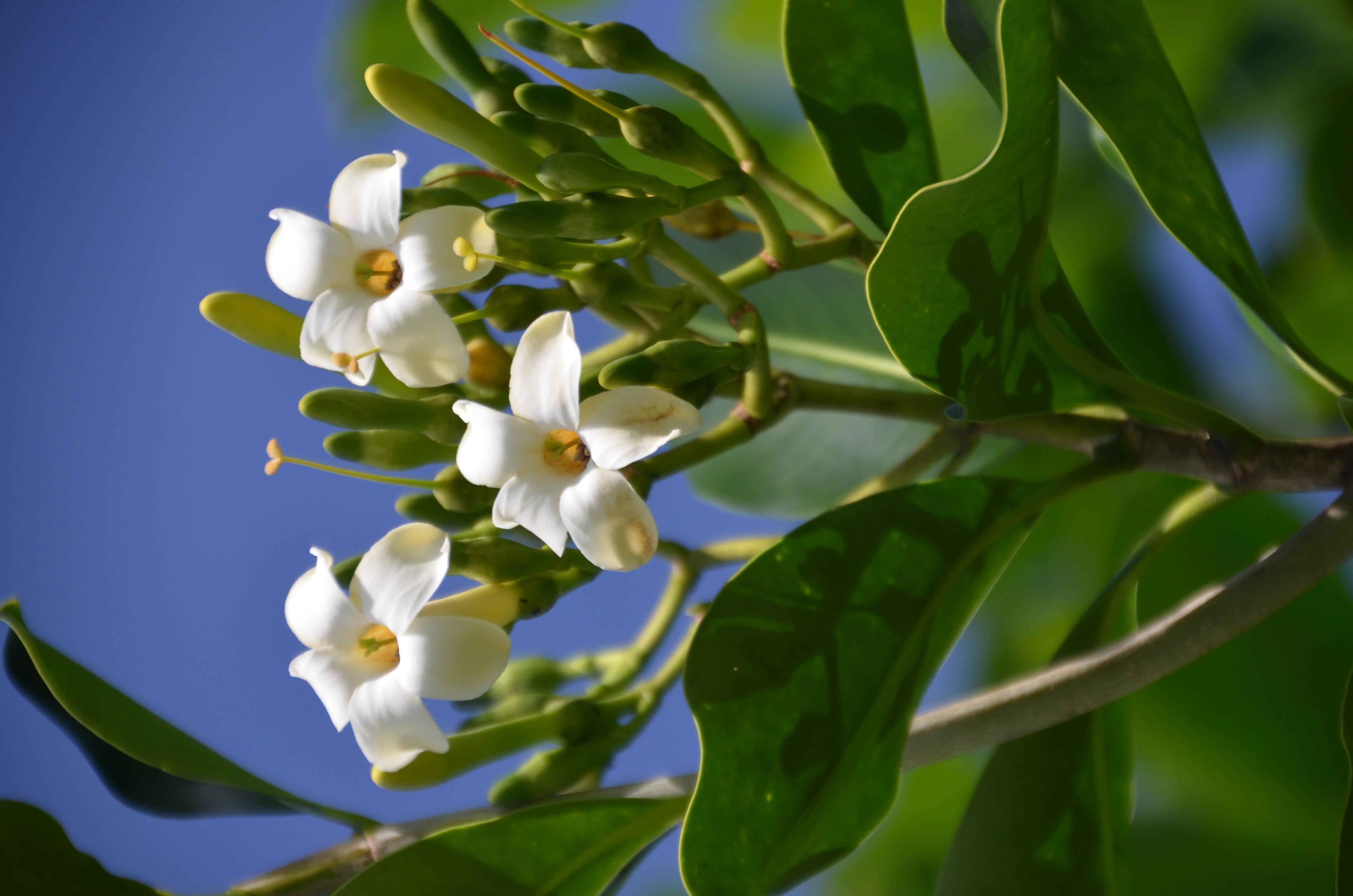Image of <i>Fagraea berteriana</i>