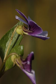Image of wedgeleaf violet