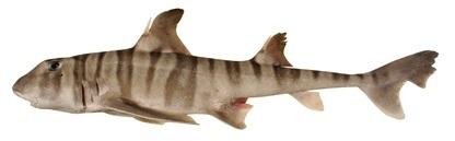 Image of Barred Bull-head Shark