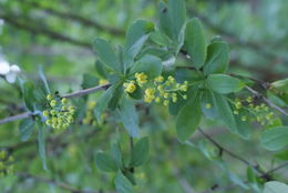 Image of American barberry