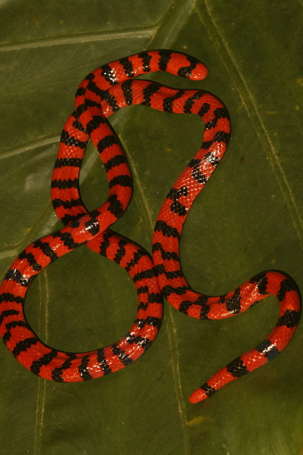 Image of Coral Cylinder Snakes