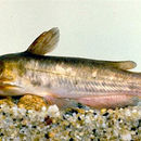 Image of Brown Bullhead