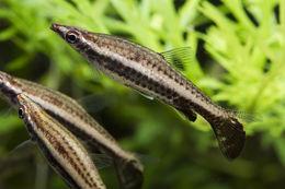 Image of Diptail pencilfish