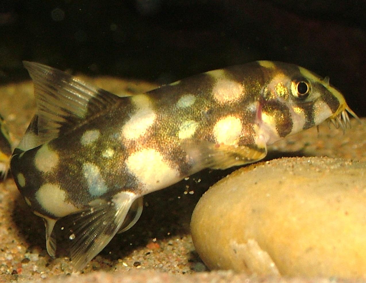Image of Kubota's Clown Loach