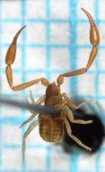 Image of House Pseudoscorpion