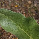 Image of deltoid balsamroot