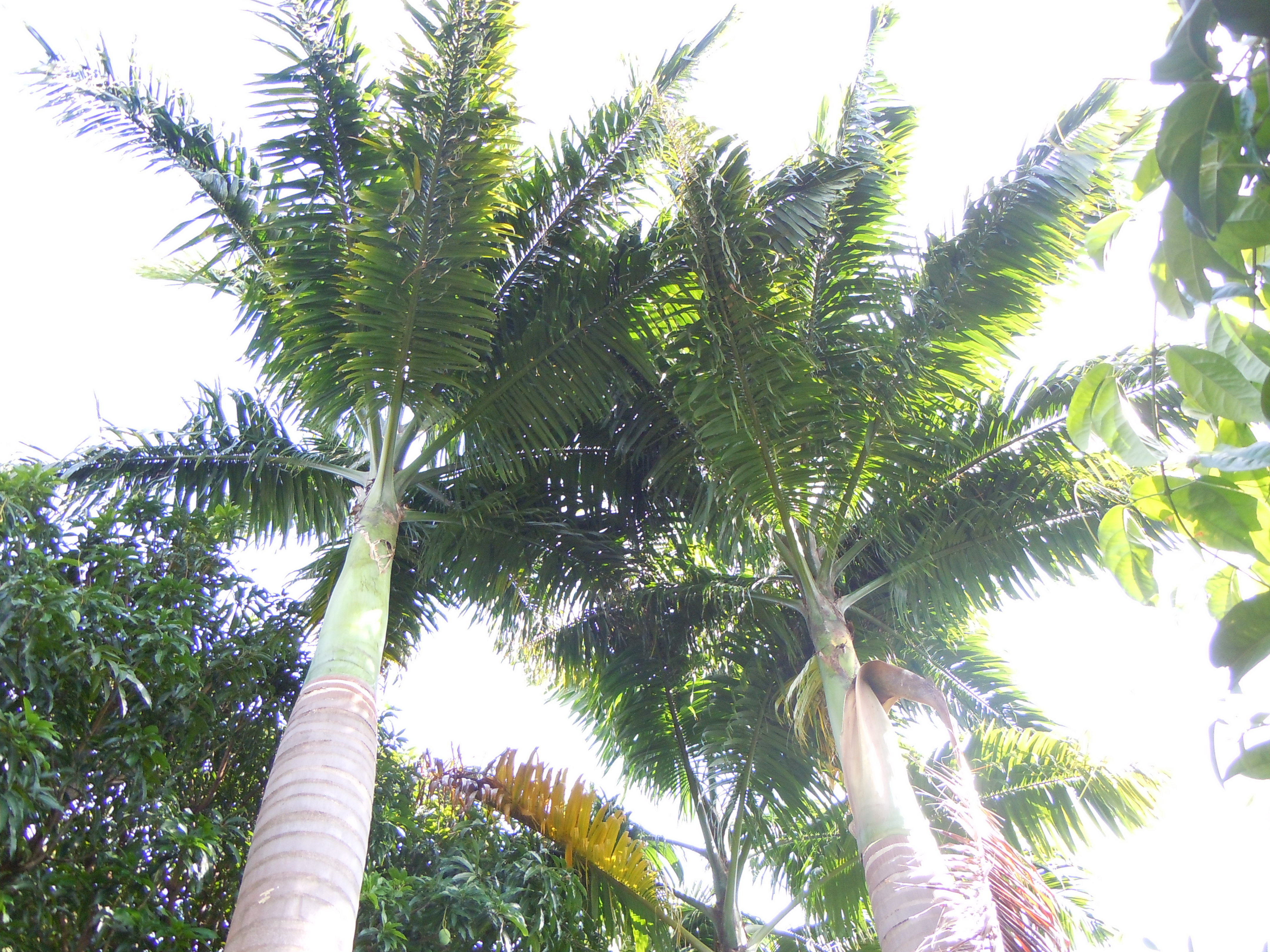 Image of cabbage palm