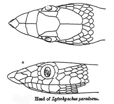 Image of Lytorhynchus