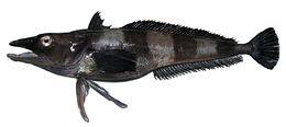 Image of <i>Chionobathyscus dewitti</i> Andriashev & Neyelov 1978