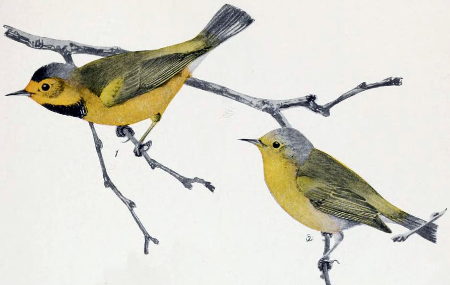Image of Bachman's Warbler