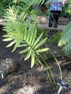 Image of Natal Grass Cycad