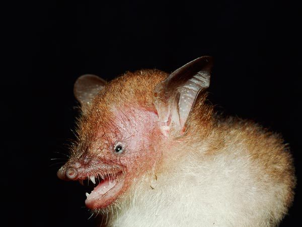 Image of Walston's tube-nosed bat