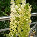 Image of <i>Eucomis pallidiflora</i> Baker