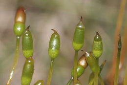 Image of pinkstink dung moss