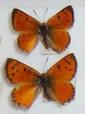 Image of Chrysoritis aureus