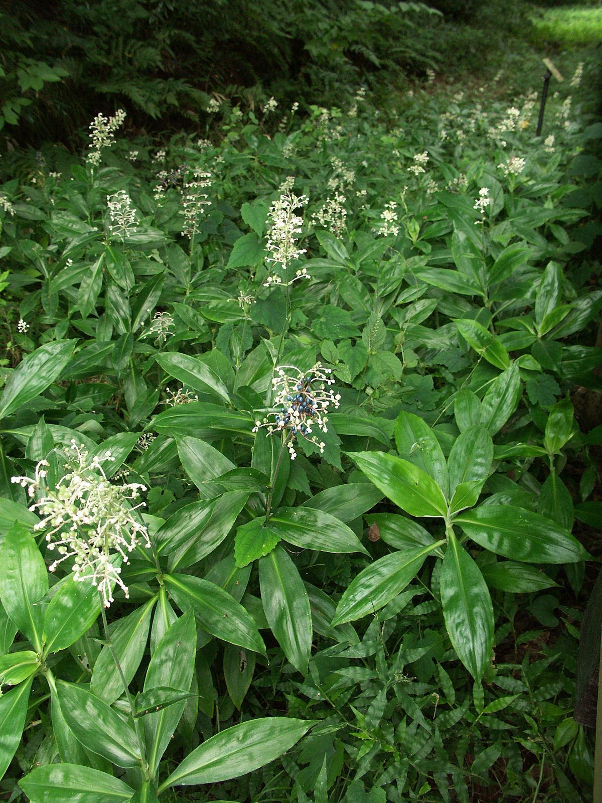Image of <i>Pollia japonica</i> Thunb.