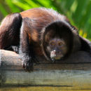 Image of Crested Capuchin