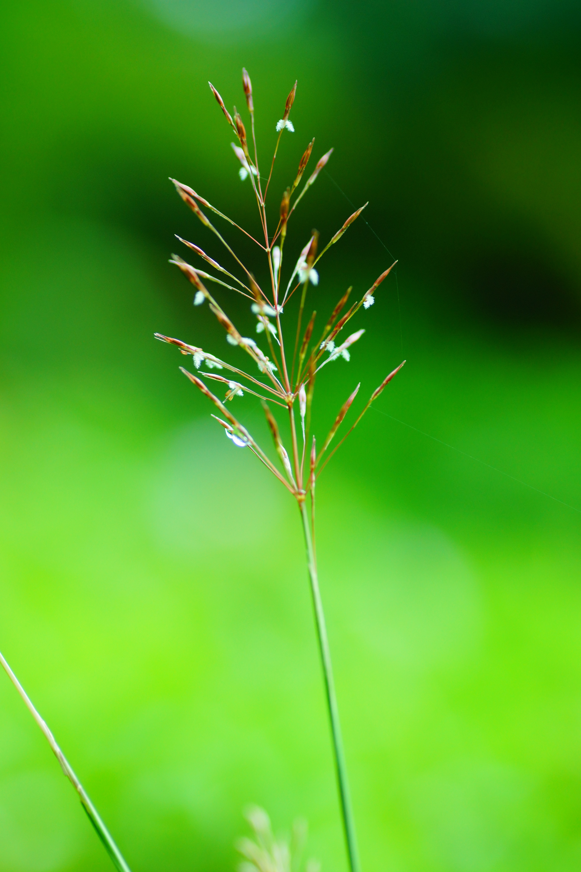 صورة <i>Chrysopogon aciculatus</i> (Retz.) Trin.