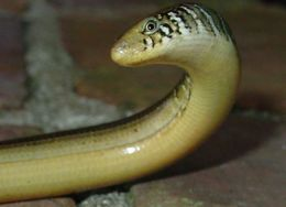 Image of Eastern Glass Lizard