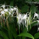 Image of Caribbean spiderlily