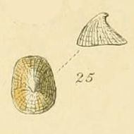 Image of cap limpet