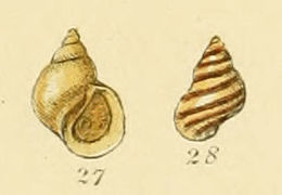Image of Chink shell