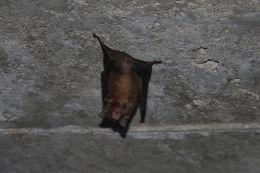 Image of Rufous Horseshoe Bat