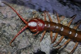 Image of Chinese red-headed centipede