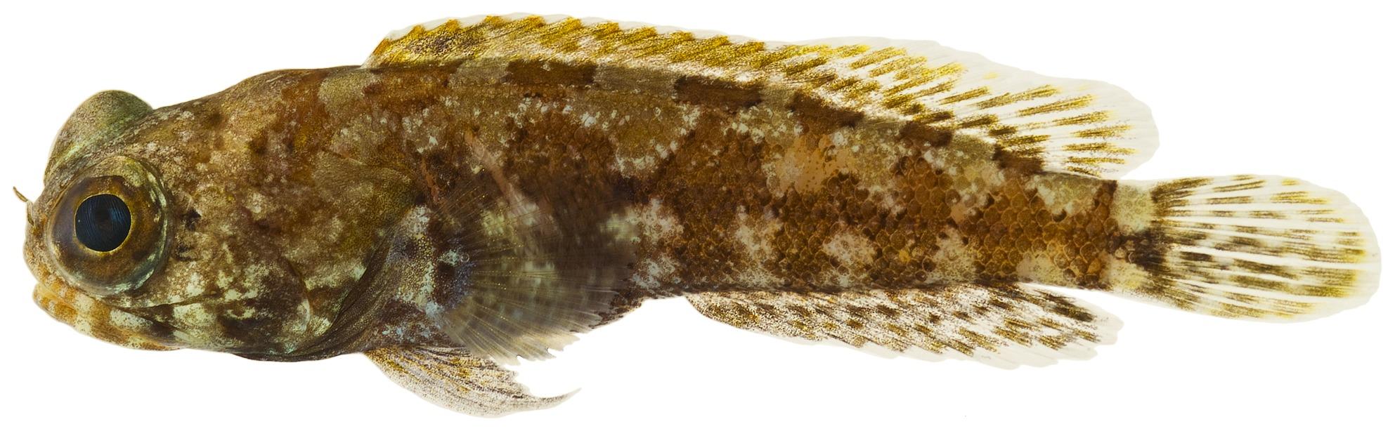 Image of Dusky Jawfish