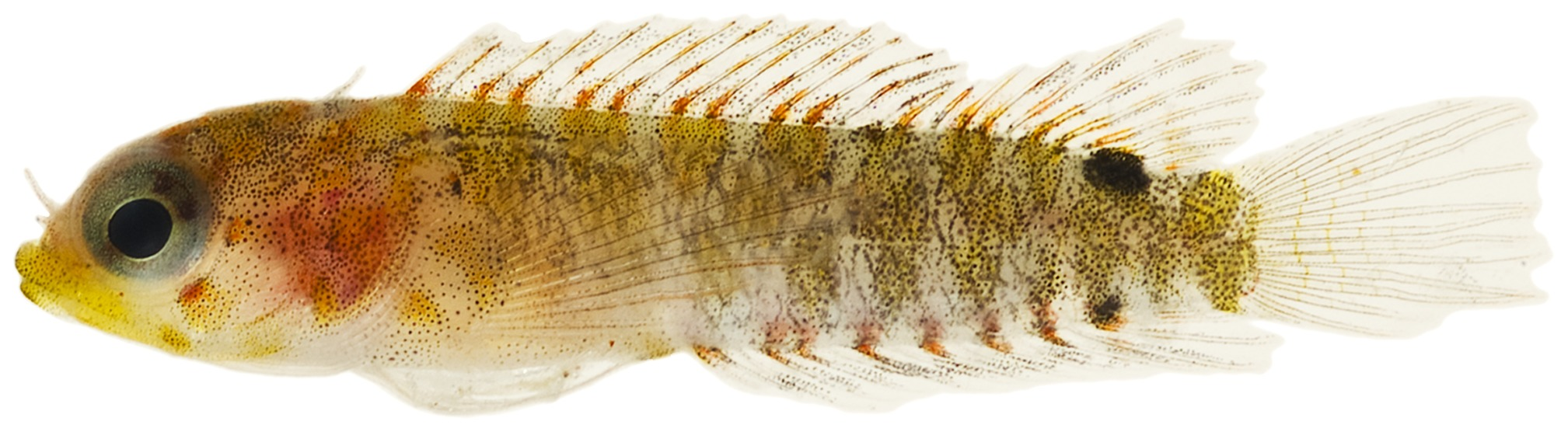 Image of <i>Starksia atlantica</i> Longley 1934