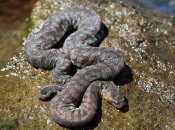 Image of Arafura File Snake