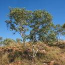 Image of <i>Eucalyptus leucophloia</i> M. I. H. Brooker