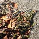 Image of <i>Euphorbia chamaesyce</i> L.
