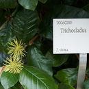Image of <i>Trichocladus ellipticus</i> Eckl. & Zeyh.