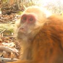 Image of Arunachal Macaque