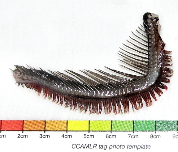Image of <i>Aethotaxis mitopteryx</i> De Witt 1962