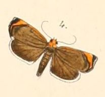 Image of <i>Imma flaviceps</i> Felder 1874