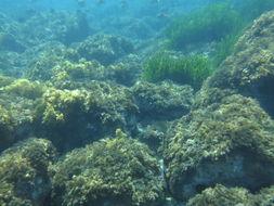 Image of Mediterranean Tapeweed