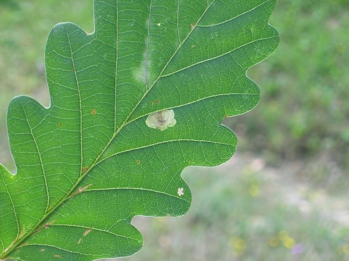 Image of <i>Tischeria dodonaea</i> Stainton 1859