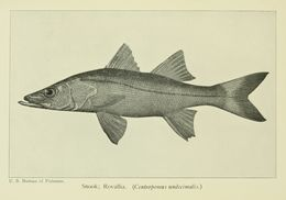 Image of Common Snook