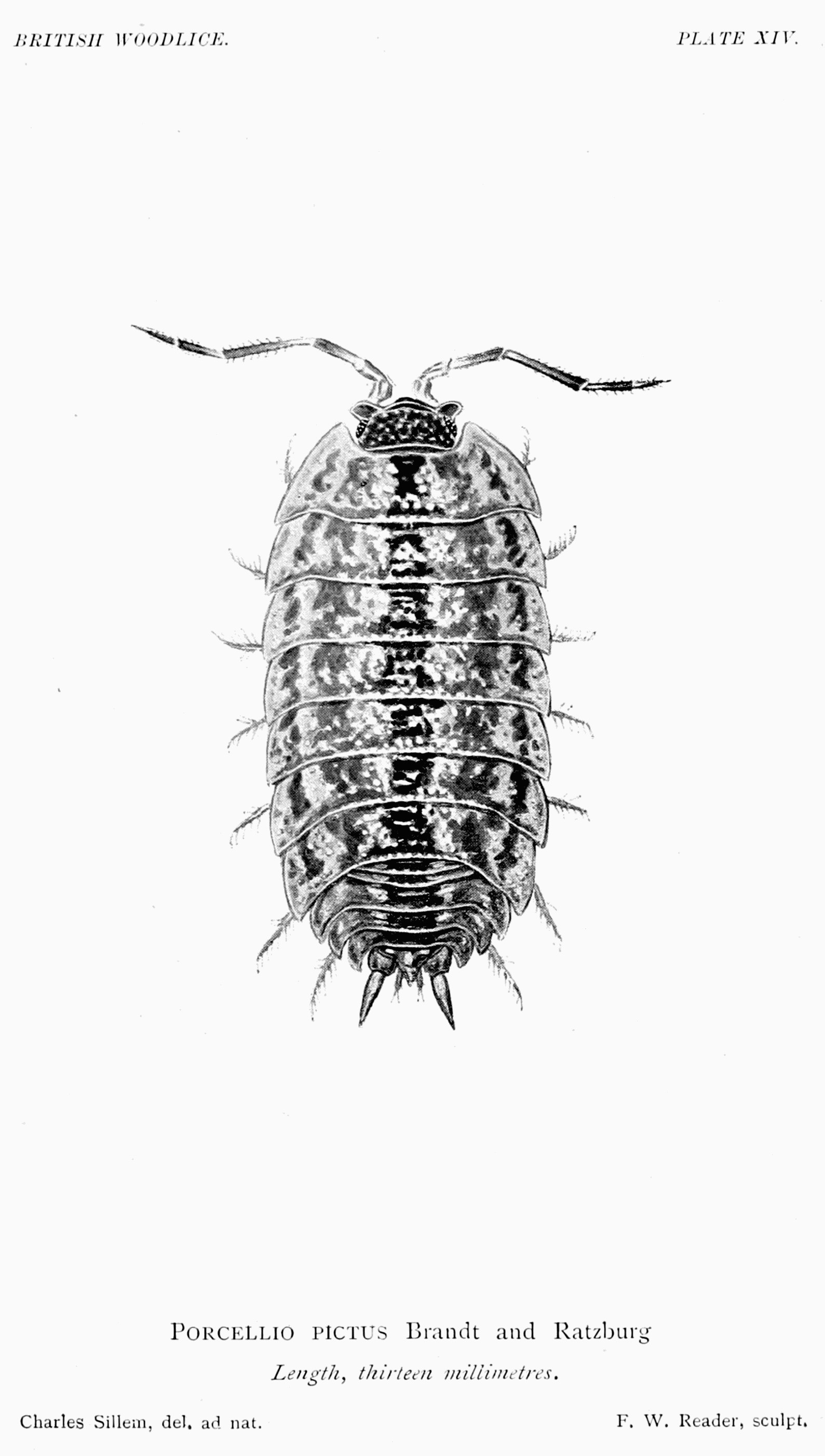 Image of <i>Porcellio spinicornis</i> Say 1818