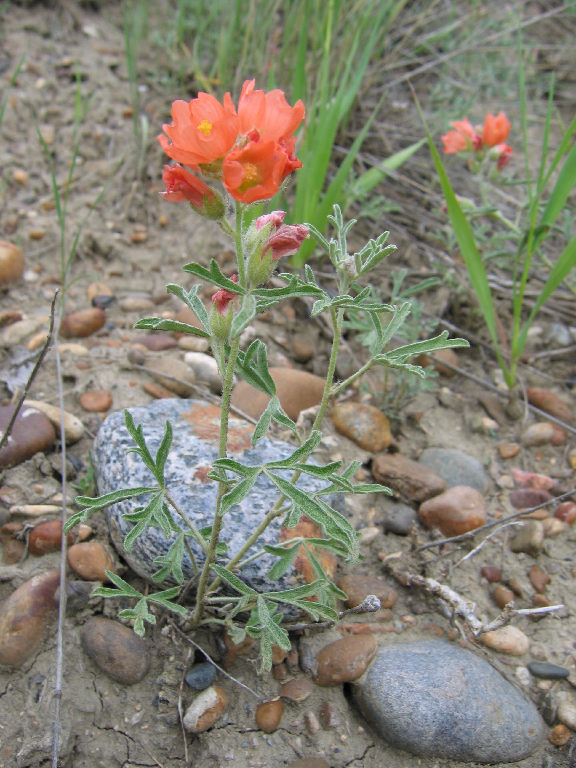Image of scarlet globemallow