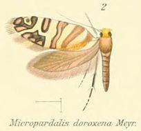 Image of <i>Micropardalis doroxena</i> Meyrick 1888