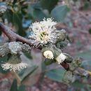 Image of <i>Eucalyptus verrucata</i> P. Y. Ladiges & T. Whiffin
