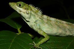 Image of <i>Pseudocalotes andamanensis</i>