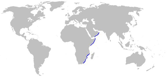 Image of Whitespotted Bullhead Shark