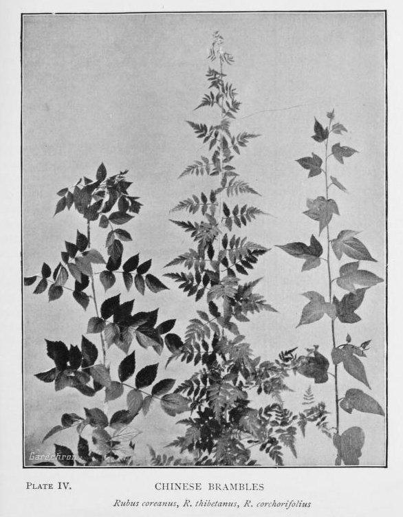 Image of <i>Rubus thibetanus</i> Franch.