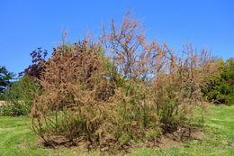 Image of smallflower tamarisk