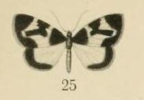 Image of <i>Asthenotricha meruana</i>