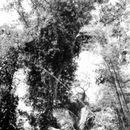Image of candletree